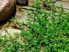 Трава спорыш лечебные свойства