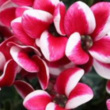 Цветок цикломения: уход и размножение