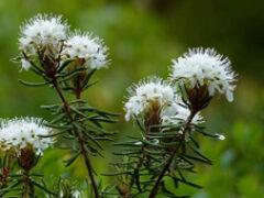 Багульник болотный — свойства и противопоказания