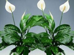 Цветок женское счастье: уход в домашних условиях